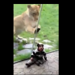 Lion Wants to Eat That Baby