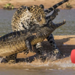 EXCLUSIVE : Jaguar Attacks Crocodile
